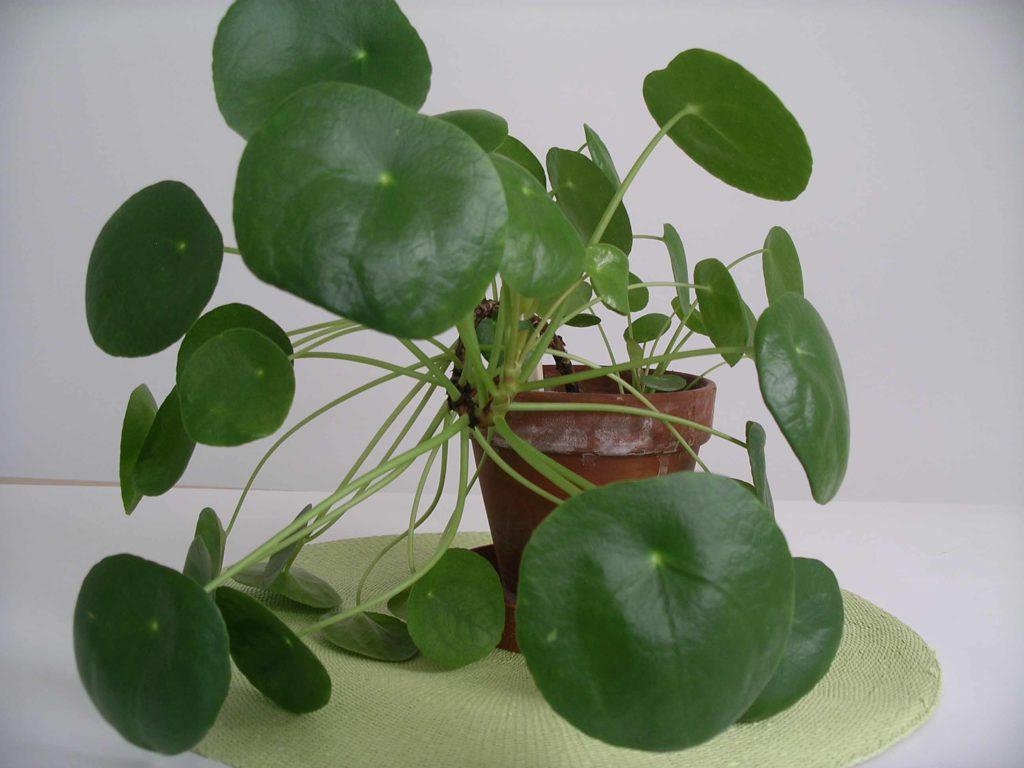 Feng Shui Tipp – Dezember 18: Feng Shui und Pflanzen im Haus